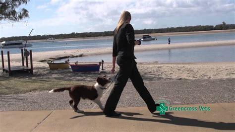 7 Tips On Teaching Your To Walk On A Leash by How To Teach Your Puppy To Walk On A Lead