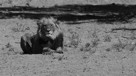 wallpaper harimau hitam jual boneka singa macan harimau lion jumbo besar boneka