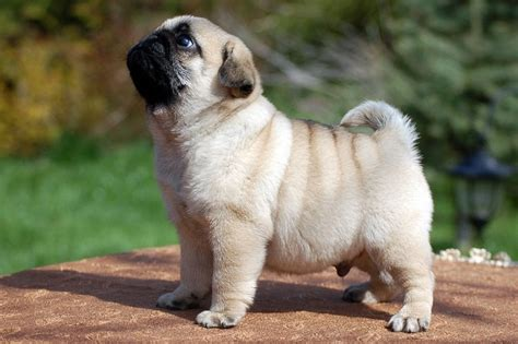 at what age is a pug grown 15 cutest puppies that will melt your barking royalty