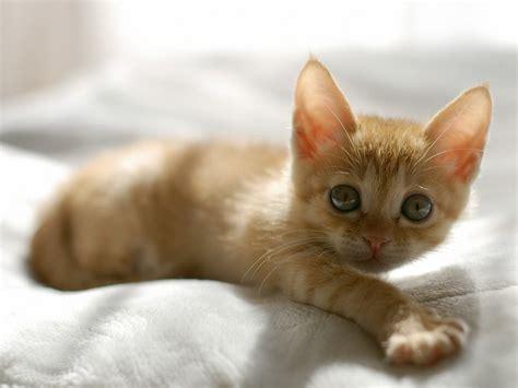 wallpaper cat orange 1600x1200 cute orange kitten desktop pc and mac wallpaper