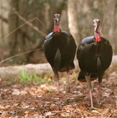 apply for mdc managed turkey hunts