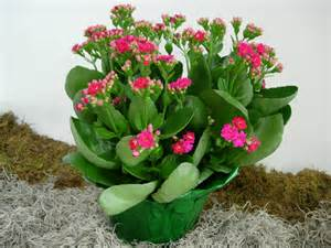 propagate a kalanchoe by stem cuttings plant division and offsets if stem cuttings are used