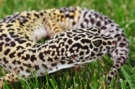 leopard color leopard gecko colors eddy abbott flickr