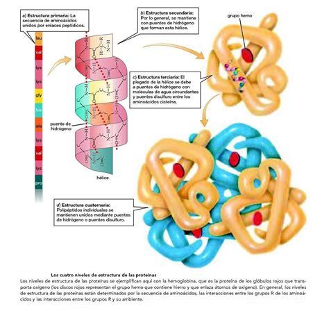 define cadena polipeptidica ci 232 ncies naturals i tecnologia l estructura de les prote 239 nes