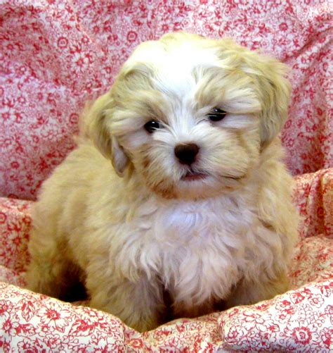 expectancy shih tzu poodle mix shih tzu poodle mix named as shih poo described with puppies for sale