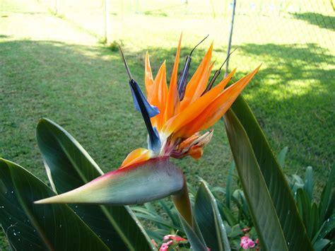fiore uccelli paradiso strelitzia reginae uccello paradiso arbusti