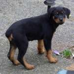 8 week rottweiler puppy rottweiler puppies 8 weeks photo