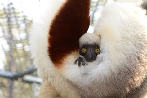 baby lemur lemurs are the most endangered mammals on the planet and