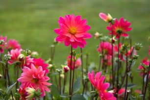 flower images free stock photo of flowers nature pink