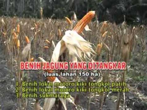 Benih Jagung Dk 979 jagung bisi 2 power doovi