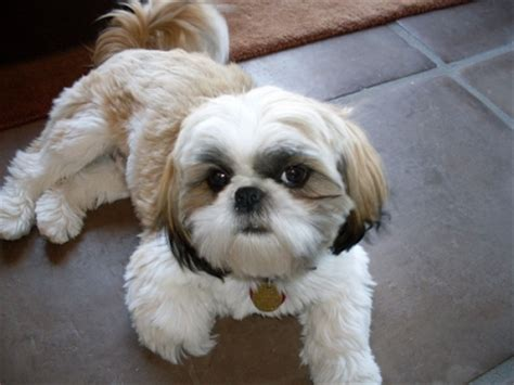 how to cut a shichon s hair gallery adult shih tzu with puppy cut