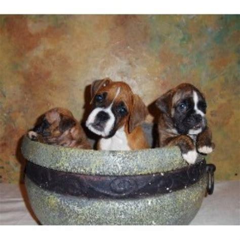 free puppies concord nc boxx boxers boxer breeder in concord carolina listing id 20721