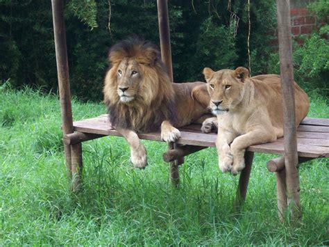 imagenes de leones en zoologico file zoologico 150 jpg wikimedia commons