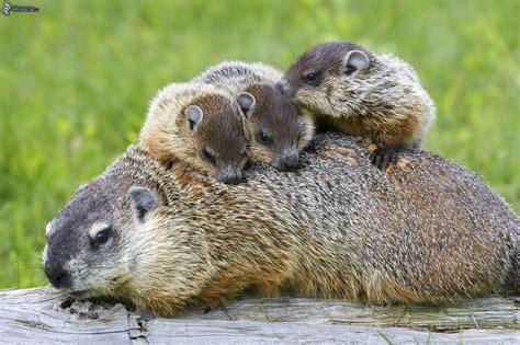groundhog day like marmotte