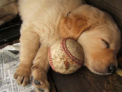golden retriever baseball puppy baseball golden retriever breakfreefromreality