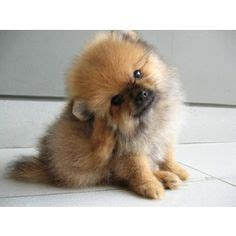 pomeranian puppies for sale in alaska 1000 images about adorable dogs on teacup yorkies for sale teacup yorkie