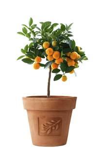 Unique Indoor Planters citrus trees the indoor growing guide brighter blooms