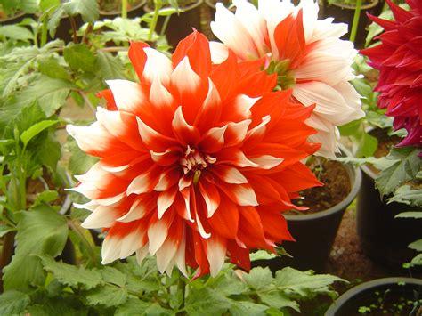 Garden Flowers Of India Garden Flowers Of India Tulip Garden Festival Ease Your Travel Photo Log Hamilton Taupo