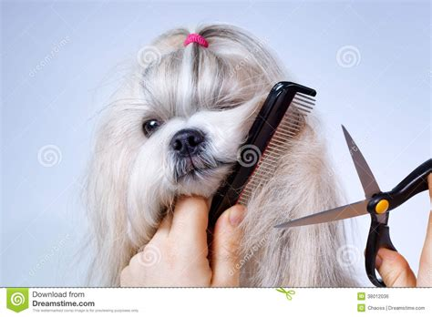 grooming your shih tzu shih tzu grooming royalty free stock image image 38012036