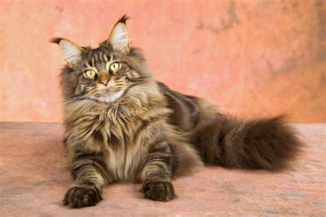 Types Of Haired Cats by Cat Coat Types Choosing The Right Cat For You Katten
