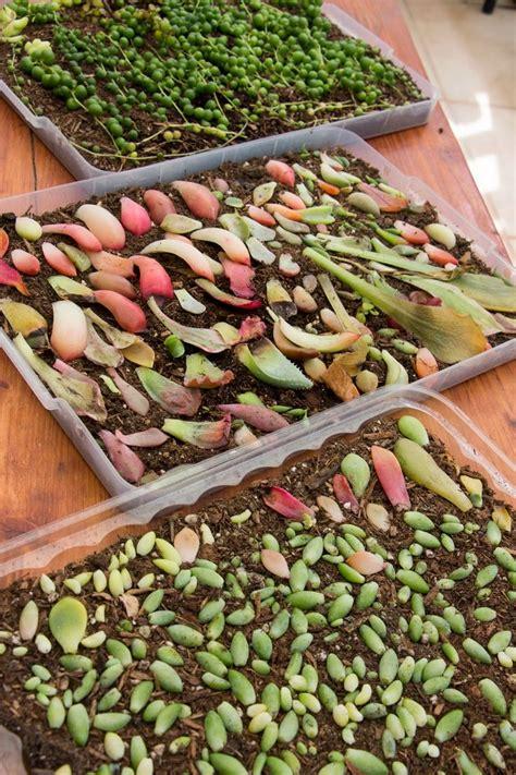 Propagating Succulents Succulents And Plants On - 25 b 228 sta propagating succulents id 233 erna p 229