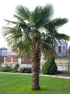 Landscaping Ideas Florida by 1000 Images About Trachycarpus Palm On Pinterest