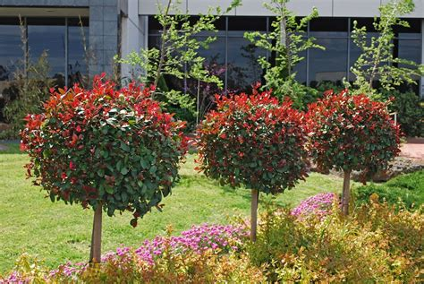 lilly pilly topiary syzygium big lilly pilly has big impact gardendrum