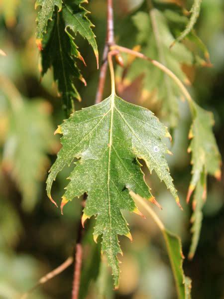 cutleaf weeping birch  sale treetimeca