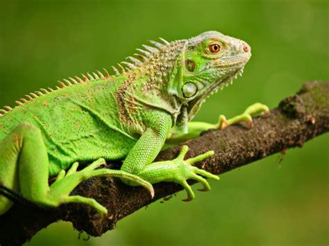imagenes de iguanas rojas 191 qu 233 come una iguana todo mascotas