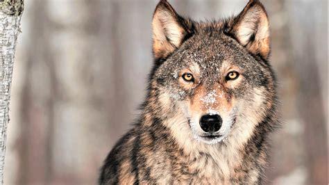 wallpaper wolf grey  animals