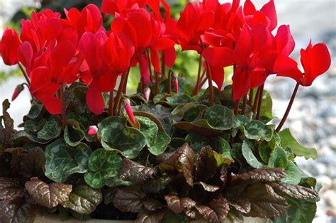 ciclamini in vaso ciclamini come curarli piante appartamento ciclamini cura