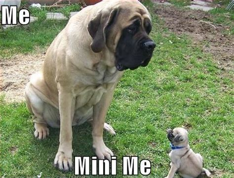 mastiff pug mastiff vs pug p animals