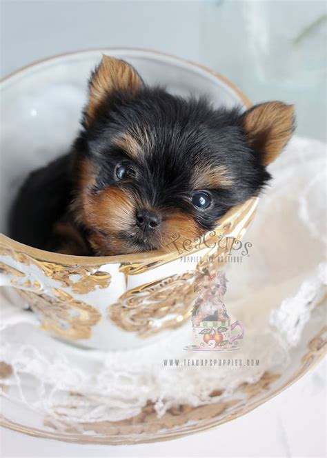 yorkie puppies in pa de 25 bedste id 233 er inden for yorkie dogs for sale p 229 teacup yorkie og