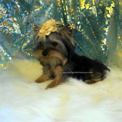 buy yorkies teacup yorkie for sale elvis terrier
