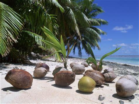 Coco Nucifera Entretien by Cocos Nucifera Cocotier Palmier La Palmeraie Fr