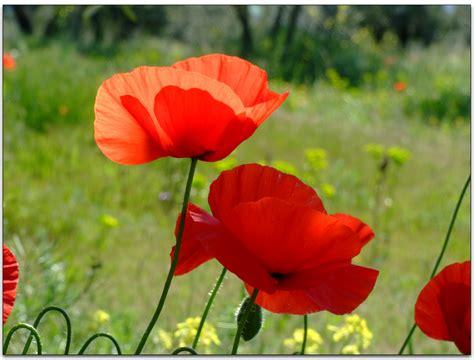 papavero fiore papavero miti storia e linguaggio dei fiori il