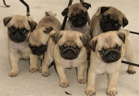 pug research selecting a puppy pug versus pethelpful
