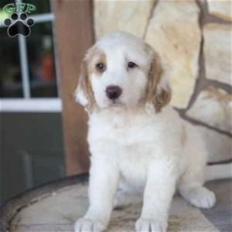 golden retriever mix puppies ohio golden retriever mix puppies for sale greenfield puppies