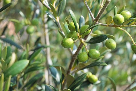 olive tree wallpaper olive tree olive branch tree olives growth olive tree