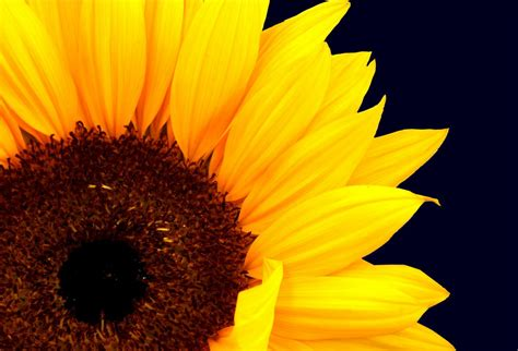 imagenes artisticas de galerias girasol art 237 stico hd fotoswiki net