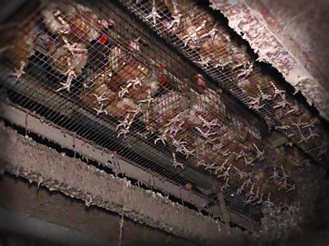 hens abandoned in mega factory farm