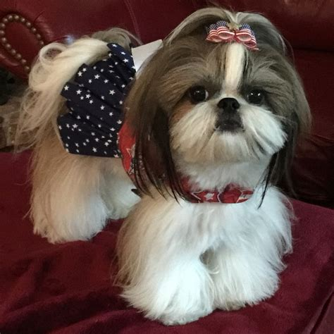 lil country shih tzu 17 best images about zu s on dogs puppys and ewok