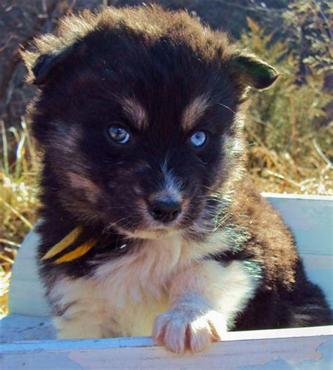 australian shepherd husky mix puppies for adoption the husky mix adoptable puppies pictures 529118