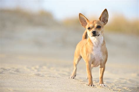 The 10 Smallest Dog Breeds in Existence ? iHeartDogs.com