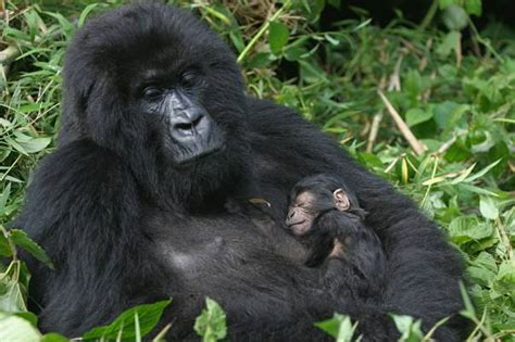 gorilla facts animal facts encyclopedia