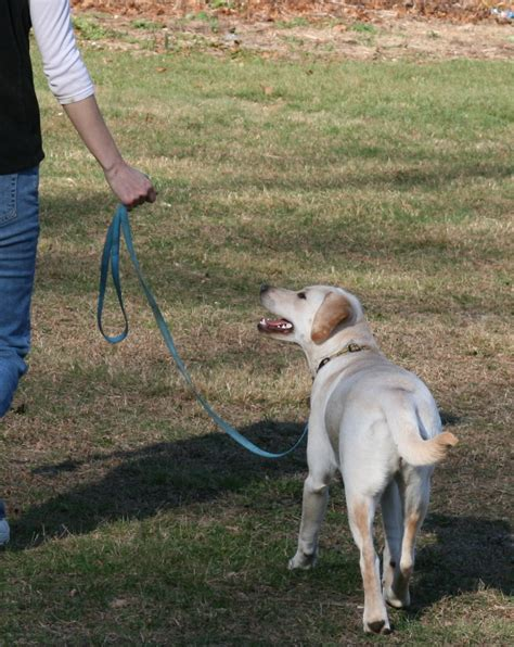 how to your puppy to walk on a leash how to your to walk nicely on the lead tenerife news official website