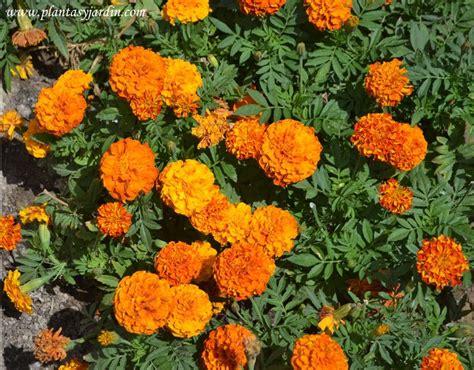 cadena de amor flower wikipedia 8 best images about flores comestibles edible flowers on