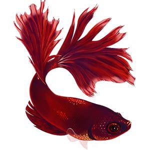 Makanan Ikan Hias Yang Masih Kecil ikan hias air tawar yang paling laris di pasaran tabloid