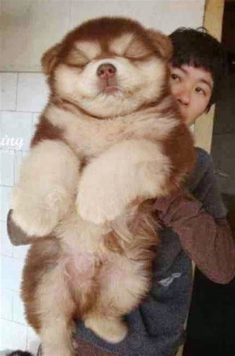 husky chow puppy husky dogs and chow chow on