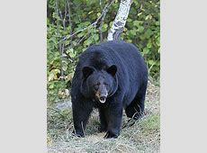 Mustakarhu – Wikipedia Yellowstone Park Nj